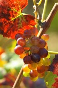 Ready for Harvest in the Rhône Valley